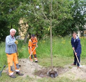 Erster Bürgermeister Michael Hetzl pflanzt gemeinsam mit Helmut Lohr und Florian Piloty den Apfelbaum der Sorte Topaz